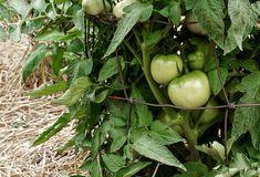 Le paillis pour les tomates est à choisir avec précaution pour qu'il aide vos légumes à se développer et à bien mûrir. Permaculture, Aide, Gardens, Root System, Mulches, Organic Matter