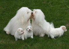 The Coton De Tulear Uses Its Own Special Language To Talk You