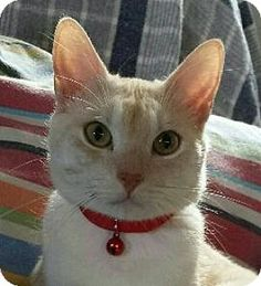 Fenton, MO - Domestic Shorthair. Meet Mr. Red, a cat for adoption. http://www.adoptapet.com/pet/15152531-fenton-missouri-cat