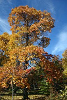 Fenchelholzbaum (Sassafras albidum)