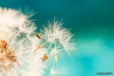 white dandelion flower with seeds in springtime in blue turquois, Premium Kollekció