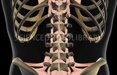 Ligamentos de la espalda baja.  Si se fijan estos ligamentos conectan con los huesos de la cadera. Es por eso que tener la pelvis en su posición correcta libera tensiones y alivia dolores en la espalda.   #backpain #pelivisalignment  #lowerback