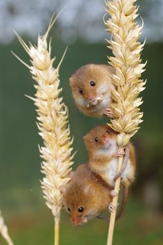 ~~Three Of A Kind • Harvest Mice • by Hugobian~~
