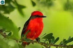 https://www.facebook.com/WonderBirdSpecies/ Vermilion flycatcher (Pyrocephalus rubinus); South and Central America, and the southwestern United States of America; IUCN Red List of Threatened Species 3.1 : Least Concern (LC)(Loài ít quan tâm) || Đớp ruồi bạo chúa đỏ son; Nam và Trung Mỹ đến tây-nam Hoa Kỳ; HỌ ĐỚP RUỒI BẠO CHÚA-TYRANNIDAE (Tyrant flycatchers).
