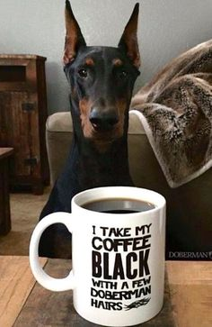 The Doberman Pinscher is among the most popular breed of dogs in the world. Known for its intelligence and loyalty, the Pinscher is both a police- favorite Black Doberman, Doberman Love, Doberman Funny, I Love Dogs, Cute Dogs, Black And Tan Terrier, Doberman Pinscher Dog, Doberman Puppies, Mundo Animal