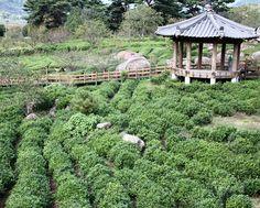 Korean Jirisan Hwagae Valley Tea Garden              ~www.theteafiles.com~