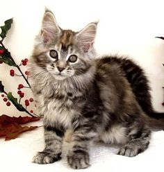 "Maine coon cat ❤❦♪♫Thanks, Pinterest Pinners, for stopping by, viewing, re-pinning, & following my boards. Have a beautiful day! ^..^ and ""Feel free to share on Pinterest ♡♥♡♥ #catsandme ❤❦♪♫!♥✿´¯`*•.¸¸✿♥✿´♥✿´¯`*•.¸¸✿♥✿ http://www.mainecoonguide.com/maine-coon-personality-traits/"