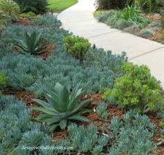 The green rippled crassula planted in front of the Agave can grow to be a taller shrub .