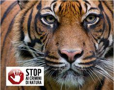 WWF Italia - Adozioni - Adotta una tigre