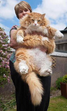 I've wanted a Norwegian Forest Cat for years, so awesome! Ulric: A Norwegian Forest Cat (UK). From 10 of the world's largest pets. Beautiful Cats, Animals Beautiful, Grand Chat, Funny Animals, Cute Animals, Huge Cat, Photo Chat, Norwegian Forest Cat, Pets