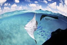 rays, Beautiful Animal Pictures