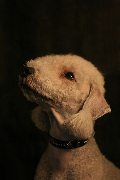Bedlington Terrier by beddiz, via Flickr