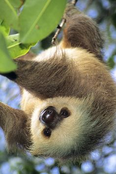 Sloth doing what comes naturally (in a sanctuary for now)