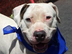 KILLED BY ACC -07/02/15 - LEXINGTON - A0970643 - - Manhattan - TO BE DESTROYED 07/02/15 - **RETURNED 06/21/15** - NEUTERED MALE WHITE AND BROWN AM PIT BULL TER MKX, 6 Yrs - OWNER SUR ON 06/21/15 - DIVBREAKUP