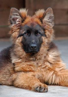 long haired shepherds | long haired german shepherd puppies