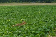 Lièvre chassé dans les moutardes