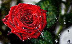 Wet Rose II by ~Noxire on deviantART (photograph) Rose Pictures, Nature Pictures, Raindrops And Roses, Organic, Deviantart, Plants, Beautiful, Iphone 6, Tattoo Ideas