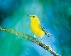Prothonotary warbler | Xplor
