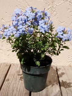 Комнатные растения с голубыми цветами и фото цветов (растений) с голубыми цветами