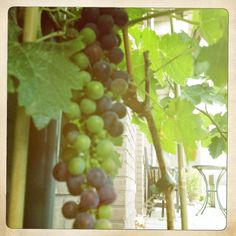 Our own red wine grape is growing well!