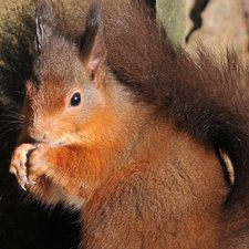Red Squirrel | Cairngorms National Park