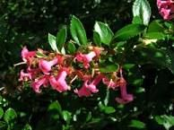 Image result for escallonia rubra