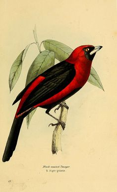 A selection of the birds of Brazil and Mexico : - Biodiversity Heritage Library Vintage Bird Illustration, Nature Illustration, Botanical Illustration, Botanical Drawings, Botanical Art, Flora, Nature Artists, Bird Drawings, Bird Pictures
