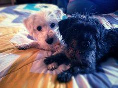 Cuteness westiepoo and yorkiepoo