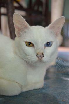 dea78f835f 57 Gorgeous Cats With Heterochromia Iridum. Heterochromia EyesDomestic ...