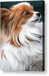 Tiny Papillon Dog starring adoringly at her owner. c.   fineartamerica.com