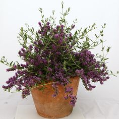 Buy butterfly bush (Syn Buddleja × alternifolia 'Unique' ) Buddleja × pikei Unique (PBR) - Flowers for a really long time: 2 litre pot: Delivery by Crocus