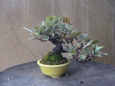 盆栽:黒松に飽きて、寒グミ 春嘉の盆栽工房