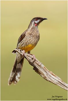 Red Wattlebird  (Occasionally Drop By)