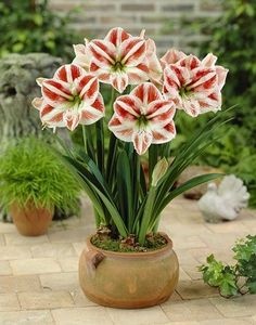amaryllis seeds,(not amaryllis bulbs), bonsai flower seeds hippeastrum Barbados Lily plant for home garden plant Balcony Flowers, Flower Planters, Flower Pots, Amaryllis Plant, Amaryllis Bulbs, Amaryllis Care, Garden Bulbs, Garden Plants, House Plants