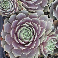 Sempervivum 'Pacific Blue Ice' and several other Seattle Hardy Succulents Sempervivum, Echeveria, Cacti And Succulents, Planting Succulents, Succulent Gardening, Container Plants, Container Gardening, Air Plants, Indoor Plants