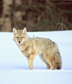 Saw a coyote yesterday and 'bout died. So adorable. Most annoying animal ever, but so cute.