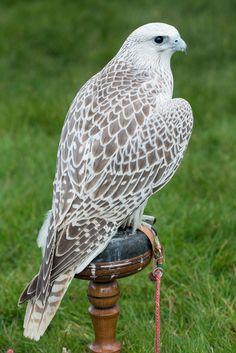 El halcón sacre es una especie de ave falconiforme de la familia Falconidae que habita en Europa, Asia y África. Esta ave rapaz es casi tan grande como el halcón gerifalte, siendo uno de los más grandes de su familia.