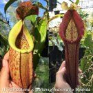 Nepenthes [kampotiana x (veitchii x maxima)] x Miranda  More than 150 different types of insects have been identified as victims, but also arachnids (spiders and mites), mollusks (snails and slugs), earthworms, and small vertebrates (small fish, amphibians, reptiles, rodents, and birds) are known to have been caught. The largest animal ever found trapped in one of the plants was a small rat.