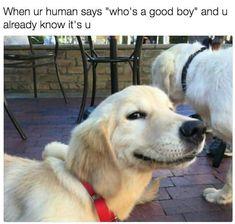 Dog Memes, Funny Animal Memes, Funny Animals, Cute Animals, Baby Animals, Top Funny Videos, Bored Panda, Best Dogs, Labrador Retriever