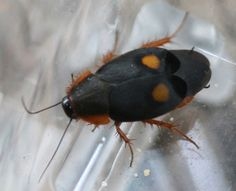The Pacific Cockroach, Euthyrrhapha pacifica (Coquebert, Roaches, Bugs, Animals, Animales, Animaux, Beetles, Animal, Animais, Insects