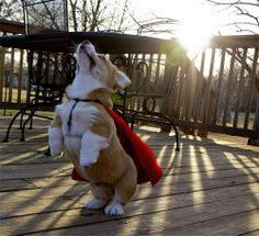Super Corgie!