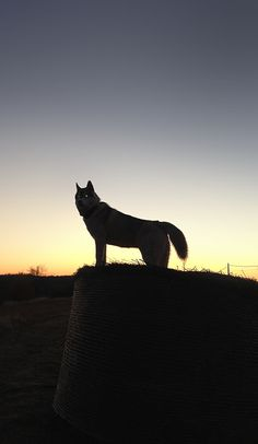 be afraid. be very afraid. Husky Mix, Husky Puppy, Malamute Husky, Pomsky, Pets 3, Beagle, Panther, Siberian Huskies, Puppies