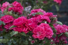 Coral Drift® Groundcover Rose - Monrovia - Coral Drift® Groundcover Rose