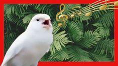 Canario Cantando Cante De Canarios Como Hacer Que Un Canario Cante Youtube Canarios Canario Hembras