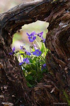 Violetas....