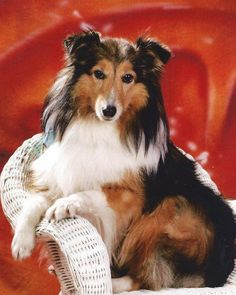 #ThrowbackThursday - Oct 2015 Photocontest winner Sugar, a 12 year old Sheltie. She is just a little pampered and spoiled.