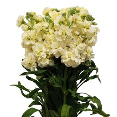 Gallery for white cymbidium orchid in vase sle inspiration yellow stock flower bing images mightylinksfo