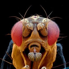 Colored scanning electron micrograph (SEM) of a wild fruit fly (Drosophila melanogaster). Macro Fotografie, Fotografia Macro, Micro Photography, Animal Photography, Evolution Of The Eye, Foto Macro, Scanning Electron Microscope, Science Images, Science News
