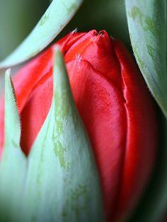 Red tulip close-up.