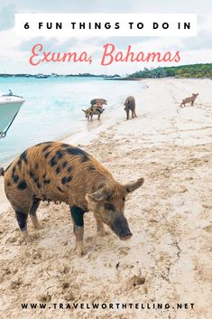Exuma may be one of the more relaxed islands of the Bahamas, but there is definitely no shortage of things to do. Fun things include pig beach, swimming with nurse sharks and visiting giant iguanas. Bahamas Honeymoon, Exuma Bahamas, Bahamas Vacation, Bahamas Pigs, Bahamas Island, Beautiful Tropical Fish, Beautiful Beaches, Pig Beach, Swimming Pigs